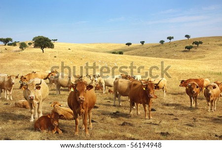 Cows in alentejo field.