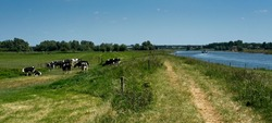 Cows in flood plains of Rhine near Renkum in the Netherlands