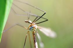 Crane fly sitting on blades of grass. Macro.