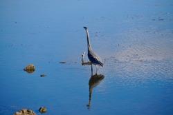 Crane peering over calm waters