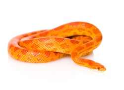 Creamsicle Corn Snake (Elaphe guttata guttata). isolated on white background