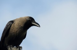 Crow on a blue sky,close up of a Crow.