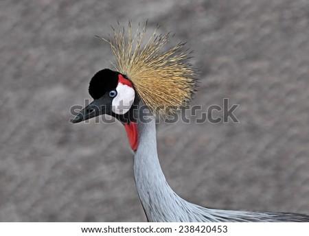 Crowned Crane head  bird over gray wall