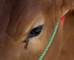 crying cows before sacrifice in eid al adha