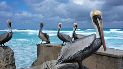 Cuban birds. American brown pelicans sit on the organizing of the famous restaurant of the resort of Varadero on the background of the raging turquoise Atlantic Ocean in bad weather. Cuba 2020.