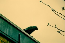 Cunning jackdaw on the roof