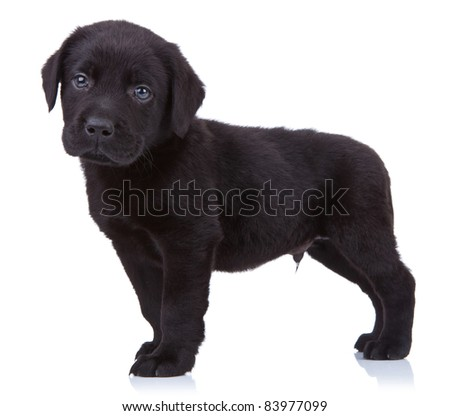 Stock Photo  curious black labrador retriever puppy standing on a white background and looking at the camera