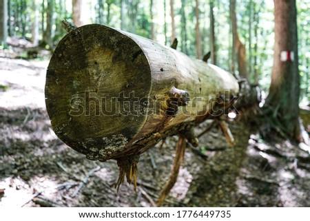 cut tree in Bucegi National Park, Romania