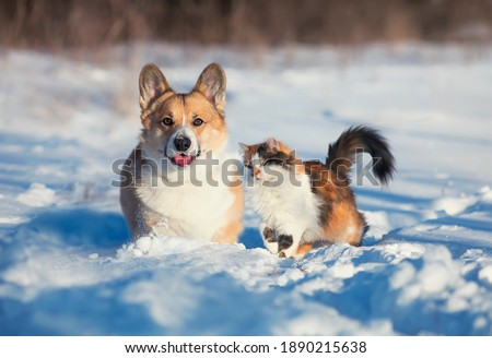 -cute and fluffy friends red cat and dog corgi sit next to each other in the winter park in the snow stock photo