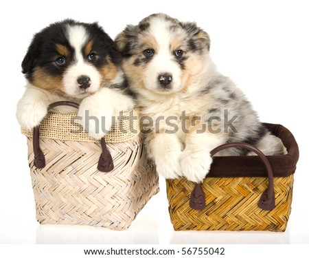 2 Cute Australian Shepherd puppies in baskets, on white background