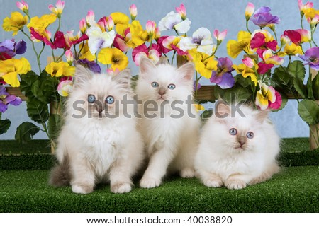 This birman kittens cats