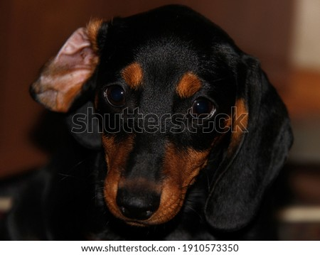 А cute dachshund with а wrapped ear looking at the camera Сток-фото ©