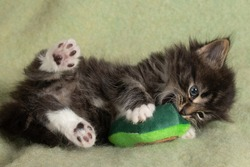 Cute, fierce 6 week old tabby kitten playing with toy. Cats need toys to stay entertained. Baby kitty hunting a toy inside.