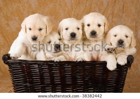 puppies golden retiever
