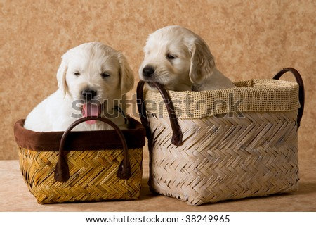 cute golden retriever puppies pictures. stock photo : 2 Cute Golden