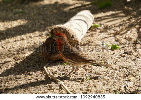 Cute House Finch sitting on the ground in front of a tree branch. Songbird Portrait. Wild birds.