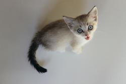 Cute kitten with blue eyes. Little Kitten. Cute Kitten.