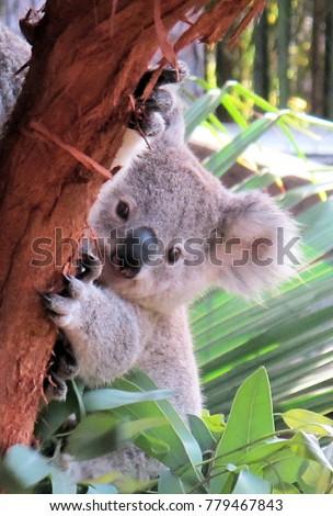Cute Koala Bear Cub                 #779467843