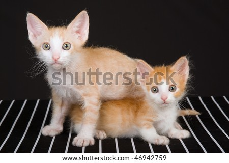 2 Cute Laperm Munchkin kittens on striped b&w background