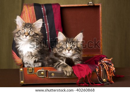 Mystic Maine Coon Cats