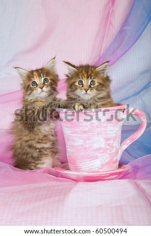 2 Cute Maine Coon kittens in pink cup on blue pink background