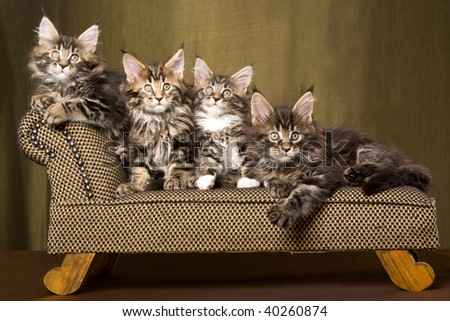 3 Cute Maine Coon kittens on miniature couch sofa chaise