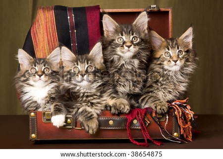 4 Cute Maine Coon kittens sitting inside brown suitcase