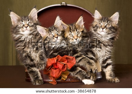 4 Cute Maine Coon kittens sitting inside round gift box