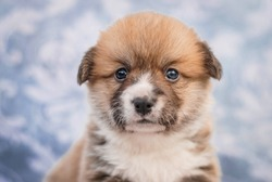 Cute new born puppy welsh corky pembok cadigan with crown portrait from photo shoot