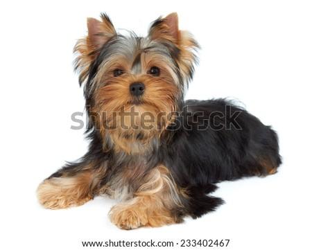 Cute puppy lies on white background. Yorkshire Terrier
