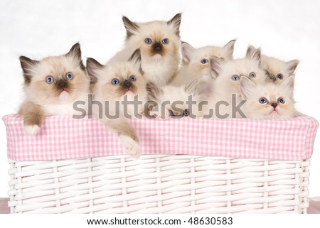 8 Cute Ragdoll kittens in pink white basket on white background - stock photo