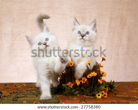 2 Cute Ragdoll kittens in wooden box decorated with orange yellow daisies