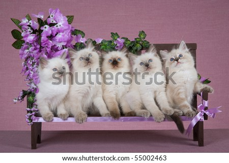 5 Cute Ragdoll kittens on wooden bench with lilac purple flowers - stock photo