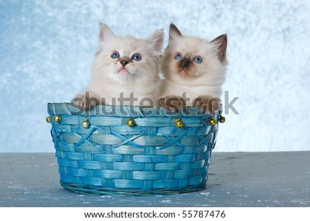 2 Cute Ragdoll kittens sitting in blue basket on blue background