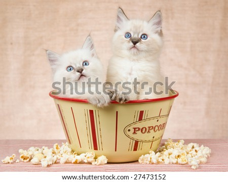 2 Cute Ragdoll kittens sitting in popcorn bowl container with popcorn