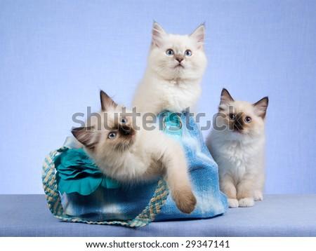 3 cute Ragdoll kittens sitting inside blue handbag purse