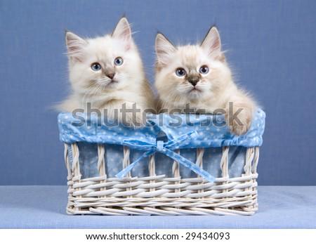 2 Cute Ragdoll kittens sitting inside white woven basket on blue background
