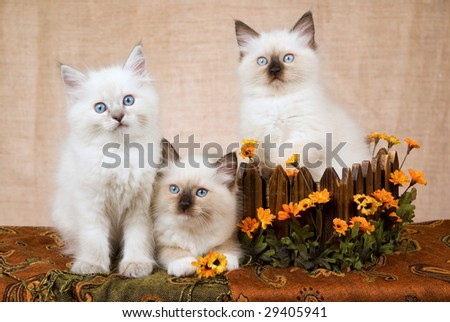3 Cute Ragdoll kittens with wooden box decorated with orange yellow daisies flowers