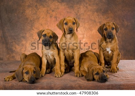 Rhodesian Ridgeback Puppies on Stock Photo   5 Cute Rhodesian Ridgeback Puppies On Brown Background