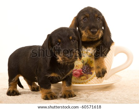 Daschund Puppies on Cute Wire Haired Dachshund Puppies In Large Cup Stock Photo 60571618