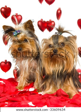 Pictures Of Yorkies Puppies. cute Yorkie puppies on red