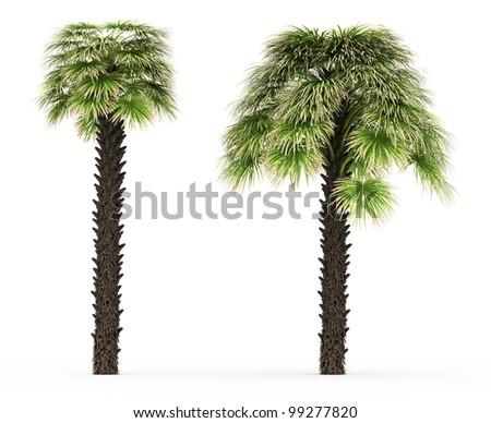3d  Desert Fan Palm isolated over white