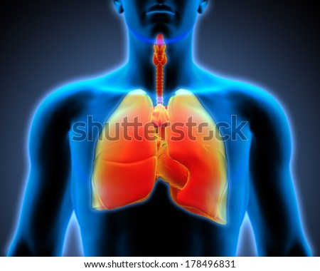 3d human anatomy - respiratory system, front x-ray view