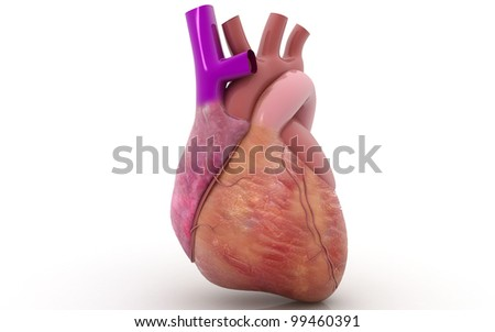 3D human heart in white background