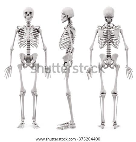 3d human skeleton on white background stock photo
