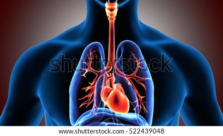 3d illustration human body respiratory system