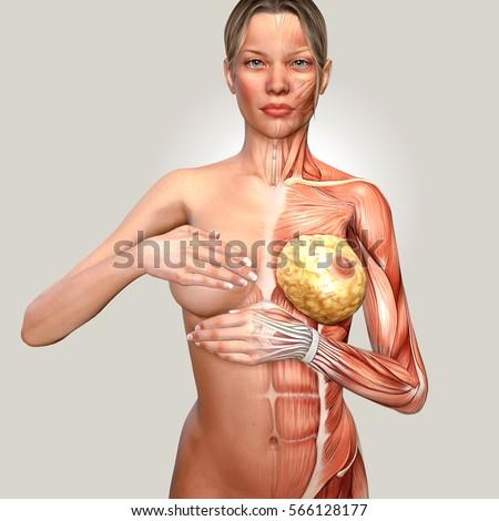Illustration of female breast anatomy | Free Image #377286466