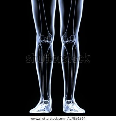 3d illustration of human body leg bones | EZ Canvas