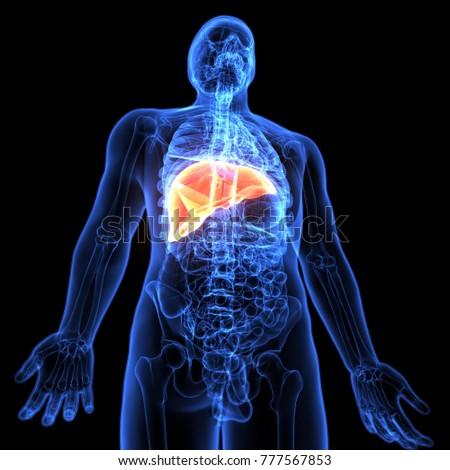 3d illustration of human body liver anatomy | EZ Canvas