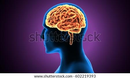 3d Illustration Of Human Brain Anatomy Ez Canvas